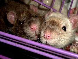 Ratties by Wasil