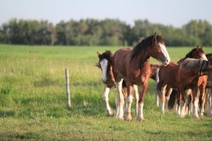 Clydesdales 9 by okbrightstar-stock