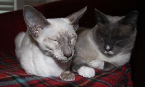 Siamese Love by ParadoxJaneDesigns