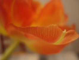 tulip petal by lillifred