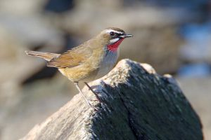 Sore throat - Siberian Rubythroat by Jamie-MacArthur