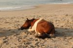 Resting Assateague Stallion I by Stock-Wulf