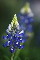 Bluebonnet by AngryRedHead