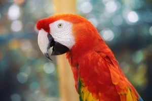 Scarlet Macaw by Kendra-Paige