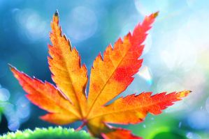 Maple Leaf by Mars-Hill