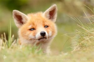 Hellowwww World .:. Red Fox Kit by thrumyeye