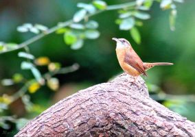 Carolina Wren by FallOut99