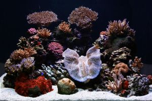 SPS Coral and Crocea display by oOBrieOo