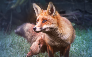 Fox in the Frost by Zilly-The-Jellyfish