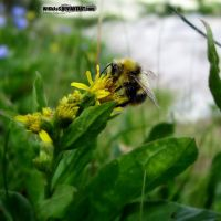 bumble-bee by WiKkASs