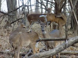 Fawns and Mammas by Lexi-Kay