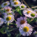 November daisy by hikingboots