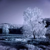 Birch Trees Infrared by MichiLauke