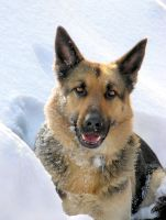 German Shepherd Dog Sam by riviera2008