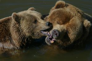 Playing Bears VI by expression-stock