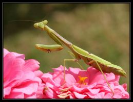Praying Mantis 20D0035356 by Cristian-M