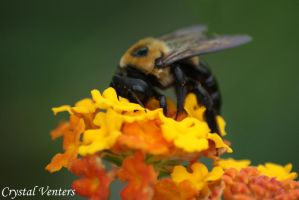 Bee on Latana by poetcrystaldawn