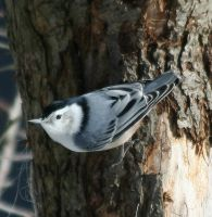 Nuthatch by tidesend