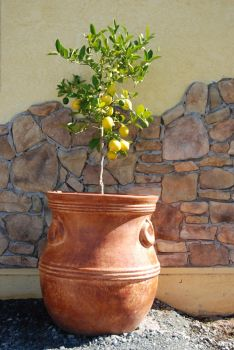 Lemon Tree-Stock by Thorvold-Stock