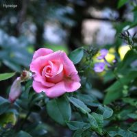 Rose tendre de l'ete by hyneige