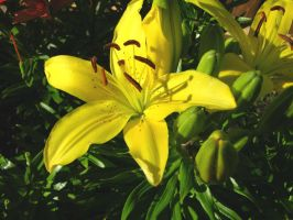 Stock Yellow Lilly 2 by Daturaemo