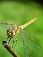 brown dragonfly by D-u-D