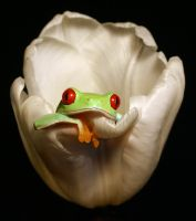 Frog in a tulip by AngiWallace