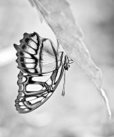 Butterfly by Archi-Med