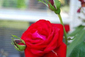 Red Rose by tigpc