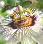 Passion Flower by Make-Believe-93