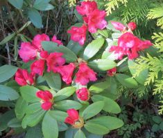 Red Rhododendron 170523 1 by Kattvinge