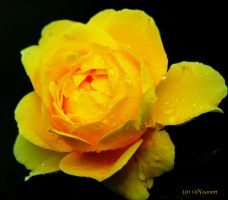 yellow rose droplets by Yoonett