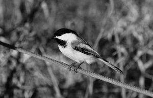 Chickadee by hennatea