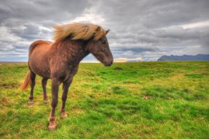 Icelandic horse HDR by leighd