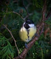 That's a Great tit by Missipesti