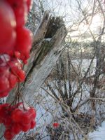 Red Winter Berries 3 by 0CrescentMoon0