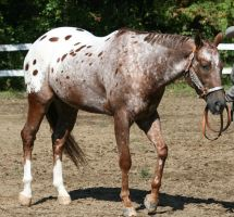 Appaloosa 95 by FantasyDesignStock