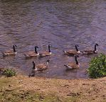 Geese by Lovelyruthie