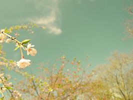 Cherry Blossoms III by lisaclarkedotnet