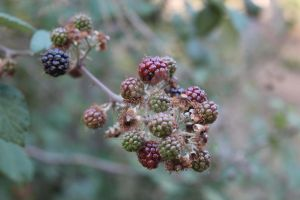 blackberries by MySweetpowerLove