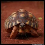 Tortoise: Coming for you by TVD-Photography