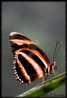Butterfly 12 by SofiaERamirez