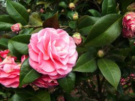 pretty pink flower by ophelia1022