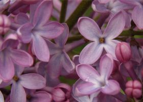 Lilac Blossoms by andras120