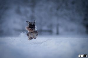 Ask - a miniature schnauzer by jeje-je