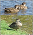 Grey Teal by Ombry