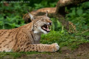 Lynx by Alannah-Hawker
