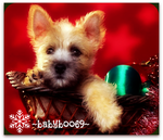 Christmas Chorkie by babyboo69