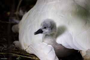 young swan protected by his mother by blacky-mo