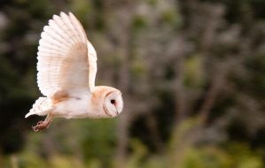 Barn Owl Flypast by Hawkeye2011